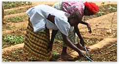 Femmes burkinabées cultivant