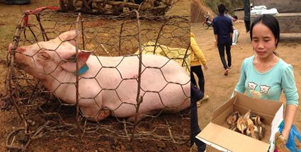 Elevages cochons poulets photos
