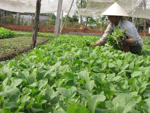 Production Alimentaire Améliorée Vietnam photos